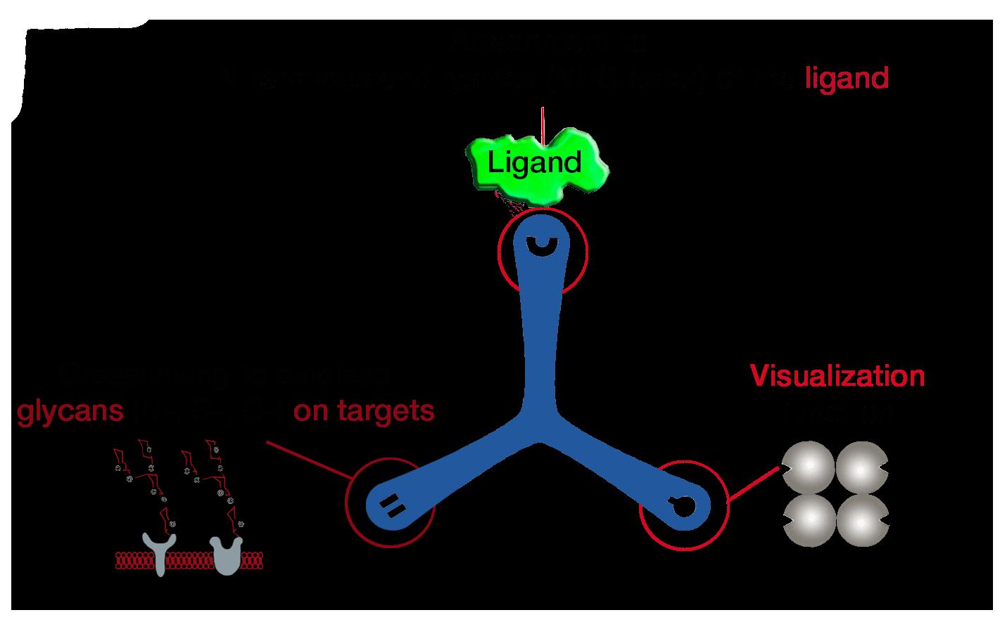 Dualsystems-Biotech-Switzerland-LRC-TriCEPS-1